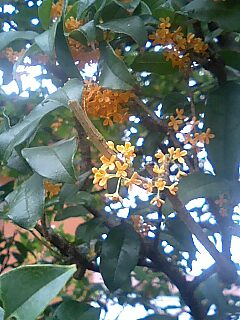 plant香る金木犀
