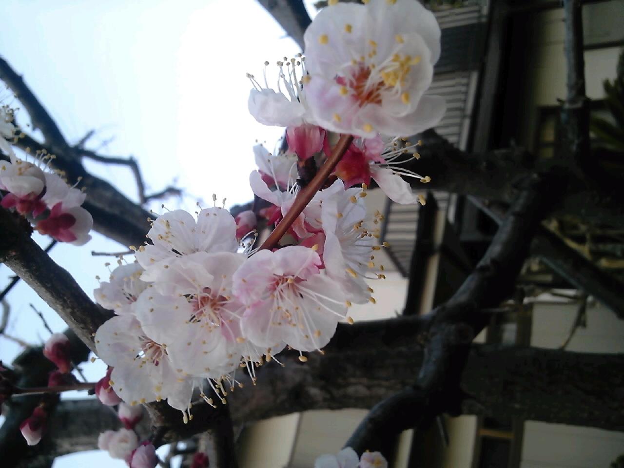横浜の3分咲き桜
