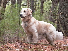 240pxgolden_retriever_standing_tuck