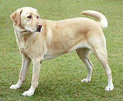 250pxyellowlabradorlooking_new